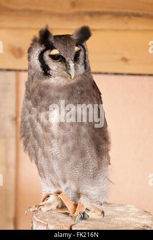 Voie Lactée eagle owl portrait en gros Banque D'Images