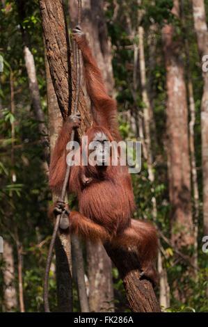 Orang-outan (Pongo pygmaeus) wurmbii - femme adulte mère Banque D'Images