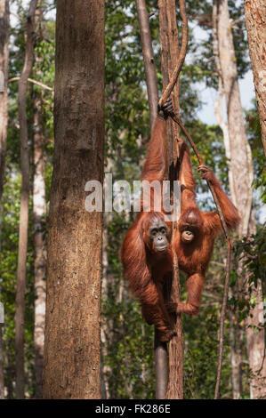 Orang-outan (Pongo pygmaeus) wurmbii - Mère et enfant Banque D'Images