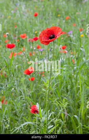 Rouge Coquelicot sauvage en fleurs dans le pré