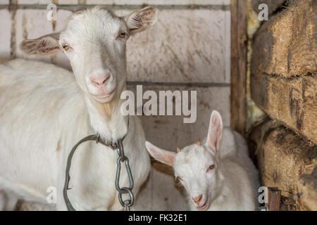 Deux chèvres heureux, debout dans une grange Banque D'Images