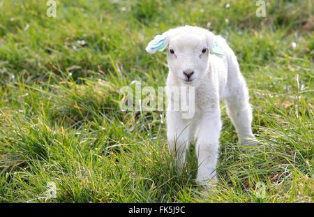 Un petit agneau dans un pré Banque D'Images