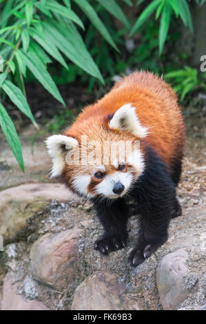 Le panda rouge (Ailurus fulgens), province du Sichuan, Chine, Asie Banque D'Images