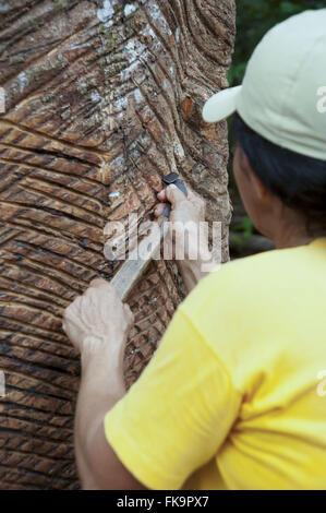 Démonstration d'extraction de latex de l'hévéa dans la plantation de caoutchouc Museum Banque D'Images