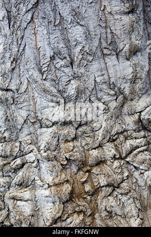 Beaucarnea gracilis l'écorce. Banque D'Images