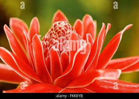 Fleur tropicale de flamme rouge gingembre, Etlingera elatior close up