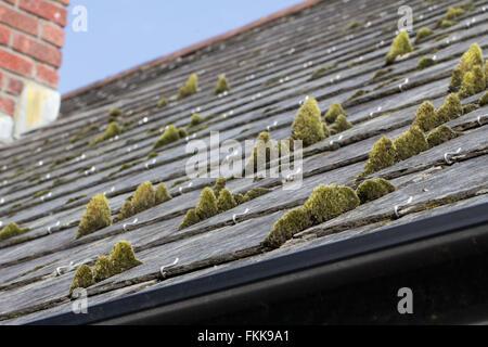 Mousse verte sur les tuiles de toit en ardoise Banque D'Images