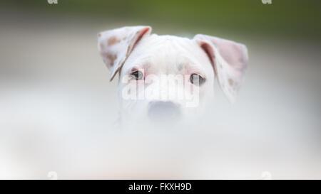 White American Staffordshire terrier puppy