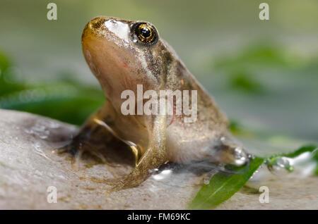 Grenouillette de grenouille rousse Rana temporaria Banque D'Images