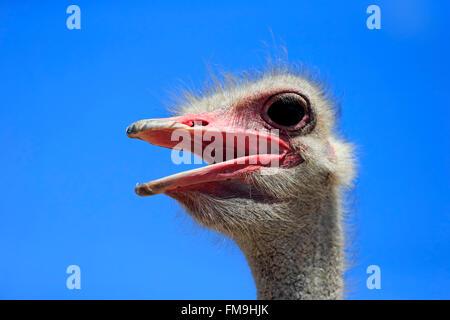 Autruche d'Afrique du Sud, homme adulte portrait, Petit Karoo, Western Cape, Afrique du Sud, Afrique / (Struthio camelus australis)