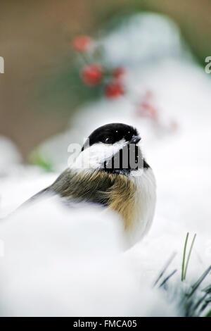 Mésange noire perchée sur la neige en hiver, peu de profondeur de champ. Banque D'Images