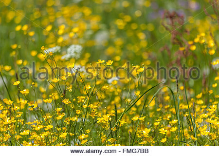Flower meadow à Campo Tures, Tyrol du Sud, Italie Banque D'Images