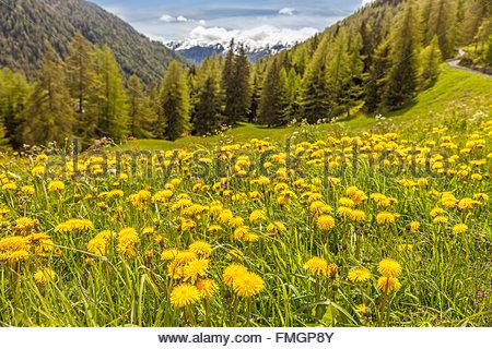 Dandilon meadow en Campo Tures, Tyrol du Sud, Italie Banque D'Images