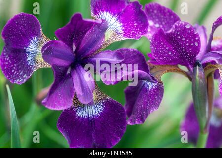 Iris sibirica Iris de Sibérie, pétales bleu, Banque D'Images