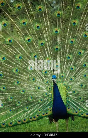 Des Paons, paon indien (Pavo cristatus), homme afficher les plumes à motifs Banque D'Images
