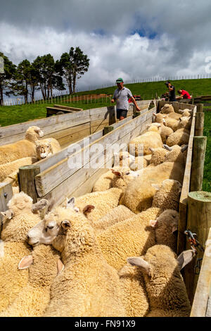 Moutons dans un enclos en attente d'être comptés et pesés, ferme de moutons, pukekohe, île du Nord, Nouvelle-Zélande Banque D'Images