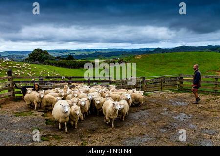 Moutons dans un enclos en attente d'être cisaillé, ferme de moutons, pukekohe, Nouvelle-Zélande