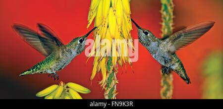 Les colibris se nourrissent d'Annas tige florale d'aloès