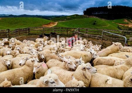 Moutons dans un enclos de moutons en attente d'être cisaillé, ferme de moutons, pukekohe, Nouvelle-Zélande