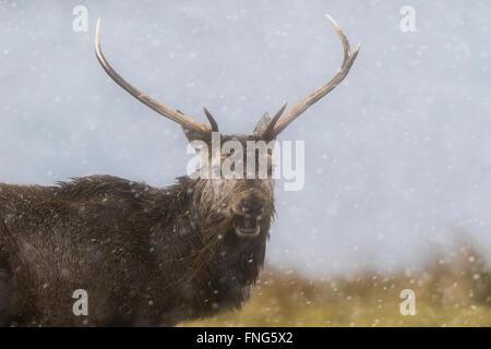 Red Deer (Cervus elaphus) stag de manger l'herbe morte dans une tempête Banque D'Images