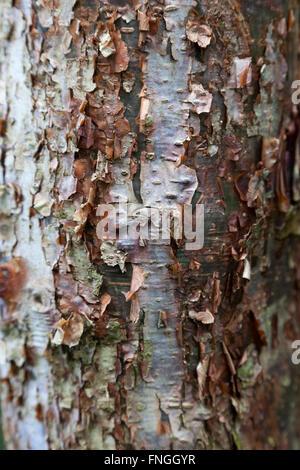 Peler l'écorce de l'arbre Gumbo Limbo Banque D'Images