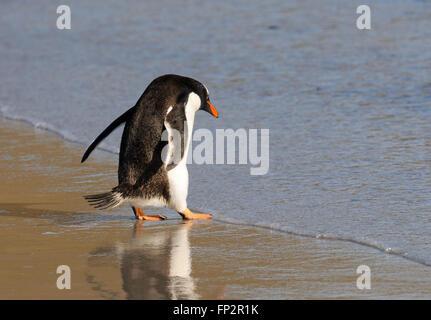 Une Gentoo pingouin (Pygoscelis papua) entrer dans la mer près de la colonie de nidification sur l'Île Saunders. L'Île Saunders, Îles Falkland