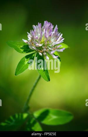 Petite fleur de trèfle avec macro closeup détail délicat. Banque D'Images