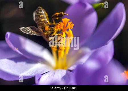 Crocus floraison et abeille, jardin de printemps précoce Banque D'Images