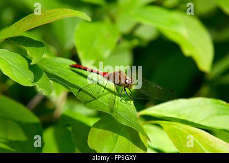 Libellule rouge (Ruby Meadowhawk) de près, on leaf