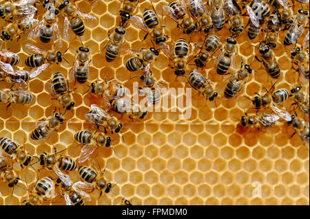 Vue rapprochée du groupe abeilles sur les cellules de miel Banque D'Images