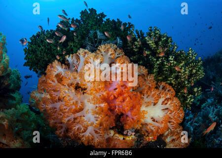 Une belle grappe de colonies de coraux mous pousse sur la santé des récifs de corail dans le Parc National de Komodo, Banque D'Images
