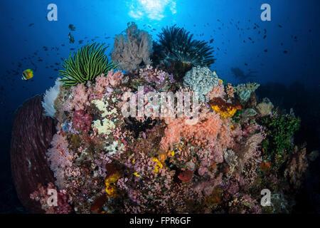 Un beau récif corallien sain et se développe dans le Parc National de Komodo, en Indonésie. Cette région tropicale Banque D'Images