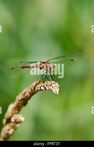 Libellule Meadowhawk sur herbe sèche.