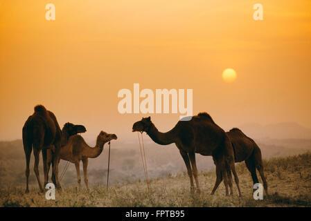 Les chameaux au chameau de Pushkar juste au coucher du soleil, Rajasthan, Inde Banque D'Images