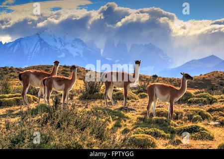 Guanacos dans le Parc National Torres del Paine, Chili