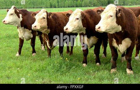 Bovins Hereford debout sur un pâturage d'été vert