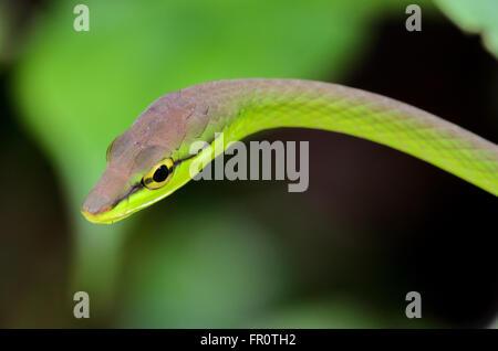 La Serpent de vigne (Oxybelis brevirostris), Réserve de Rara Avis, Costa Rica