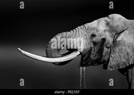 Elephant bull avec de grandes défenses de l'eau potable. Portrait en gros plan avec une vue dans le parc national Banque D'Images