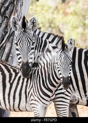 La mère et l'ânon plaines ou Burchell Equus quagga burchellii (zebra) nuzzling ensemble, Sandibe Camp, Moremi, Okavango Banque D'Images