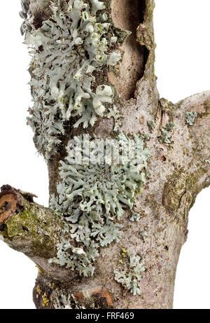 Hypogymnia physodes lichen (tube) dans l'écorce des arbres isolé sur fond blanc Banque D'Images