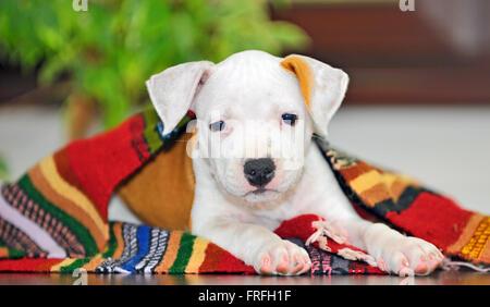 American Staffordshire terrier puppy sitting on blanket