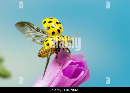 Un spot ladybird 22 sur le point de s'envoler Banque D'Images