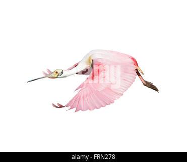 Roseate Spoonbill en vol isolé sur fond blanc Banque D'Images