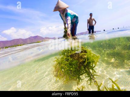 Seaweed farm.Sumbawa.L'Indonésie. Banque D'Images