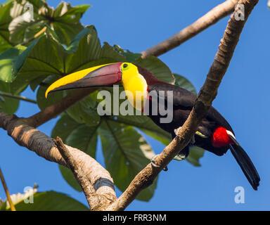 Péninsule de Osa, COSTA RICA - Chestnut-mandibled toucan, un oiseau sauvage sur la branche d'arbre en forêt tropicale.. Banque D'Images