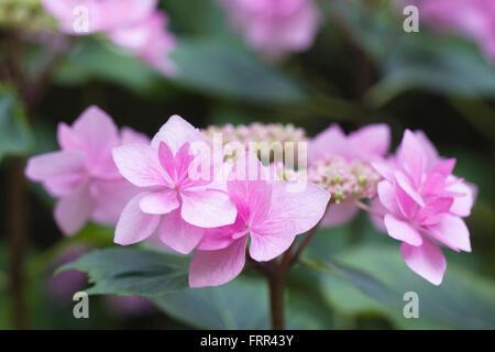 Hydrangea macrophylla 'Hanabi Rose' Banque D'Images
