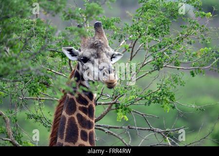Girafe adultes vu sur un jeu dur à Thanda Private Game Reserve, Kwa-Zulu Natal, Afrique du Sud
