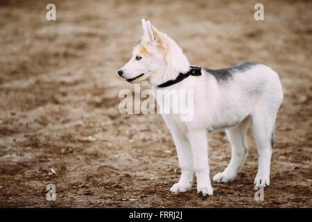 Jeune chiot Husky blanc aux yeux bleus en Plein Air Parc Automne Banque D'Images