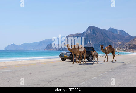 Al Mughsayl, Oman - 10 janvier: chameaux être conduit aux pâturages, accompagnés de leur propriétaire dans le camion. Banque D'Images