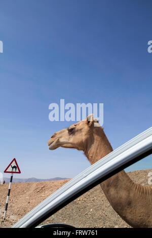 Panneau routier d'avertissement de chameau dans le Dhofar, Oman. Banque D'Images
